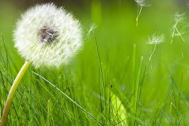 spring allergies pollen